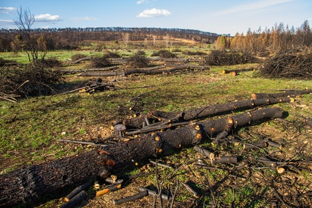 Felling or cutting charred wood burnt pine forest after fire  photo