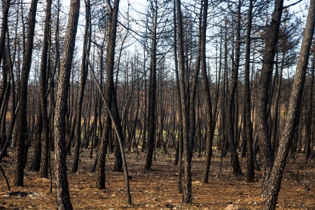 Pine forest with trees charred by fire  photo