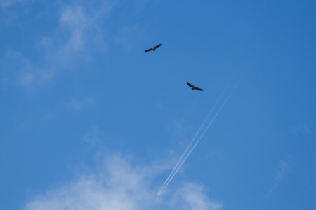 parallelism: Couple Vultures flying in blue sky with clouds and a reaction jet plane passing