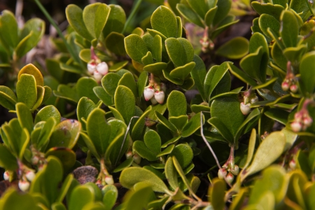 tannins: plant with medicinal properties  Bearberry Leaves, Arctostaphylos uva-ursi -