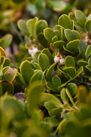 약용 식물이있는 식물 Bearberry Leaves, Arctostaphylos uva-ursi