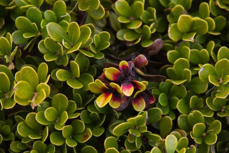 Plant with medicinal properties  Bearberry leaves, bearberry, Arctostaphylos uva-ursi