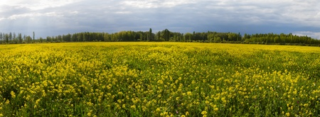poplars: Panoramic of rapeseed planting yellow flowers in spring and poplars in the background