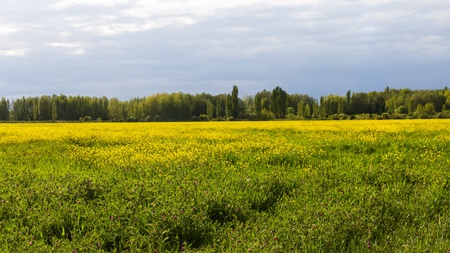 poplars: Rapeseed planting yellow flowers in spring and poplars in the background
