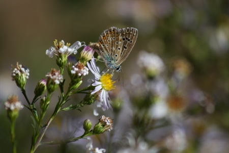 polyommatus: Butterfly   Polyommatus   Daisies flower in on unfocused background  Stock Photo