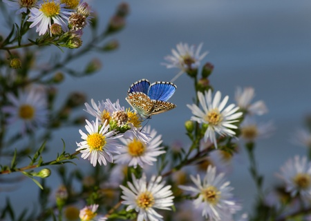polyommatus: Butterfly   Polyommatus   Daisies flower with open wings  Stock Photo