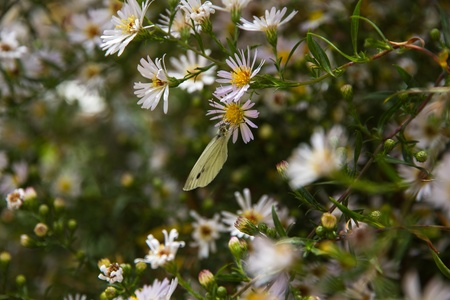 Cabbage White Butterfly  Pieris brassicae  between margaritas with closed wings Stock Photo - 21657379