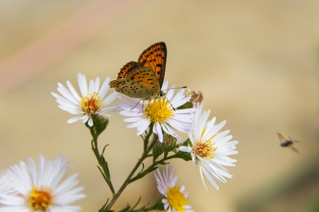 lycaenidae: Butterfly   Lycaenidae   on daisy flower Stock Photo