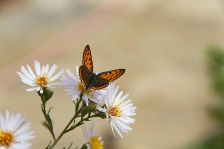 lycaenidae: Butterfly   Lycaenidae   on daisy flower  Stock Photo