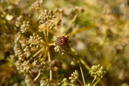 Graphosoma lineatum bug on plant parsley in grana  photo