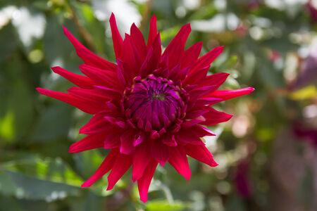 incarnate: Young violet flower dahlia red on green defocused background