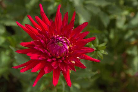 incarnate: Dahlia red flower on green defocused background  Stock Photo