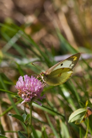 Yellow butterfly Colias clover blossom pink  photo