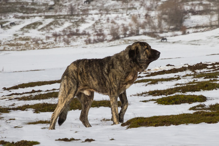 Dog Mastiff in snowy landscape with horses in the background  Banque d'images