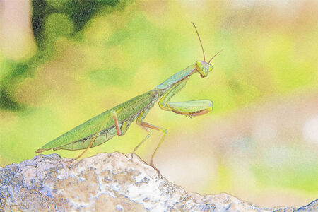 mantis: Insect praying mantis with photographic illustration effect