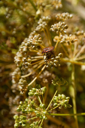 graphosoma: Graphosoma lineatum bug on plant parsley in grana  Stock Photo