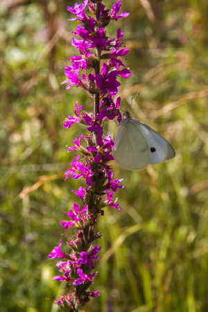 White cabbage butterfly perched on a flower loosestrife Lythrum wetland  photo