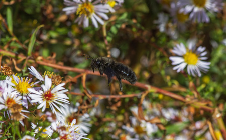 Bumblebee   Xylocopa violacea   of black body flying among daisies  photo