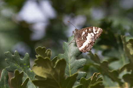 grayling:  Butterfly Great Banded Grayling   Kanetisa circe   perched on branch and oak leaves
