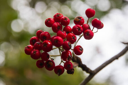 sorb: Red fruits of the rowan tree with dew drops in the morning with blurred background