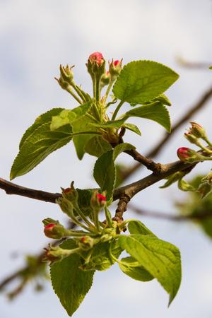 arbol: - Brotes o cogollos de flores del arbol manzano un Principios de la primavera Foto de archivo