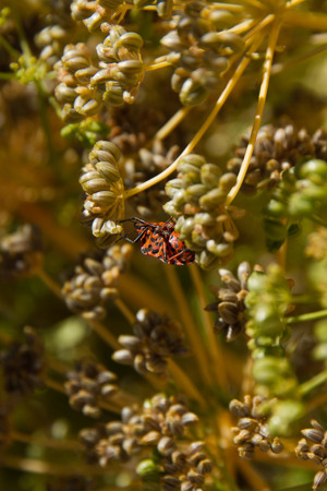 Dorsal view of Graphosoma lineatum bug on plant parsley in grana