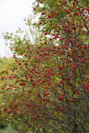 luxuriance: Rowan with red fruits in clusters in early fall  Stock Photo