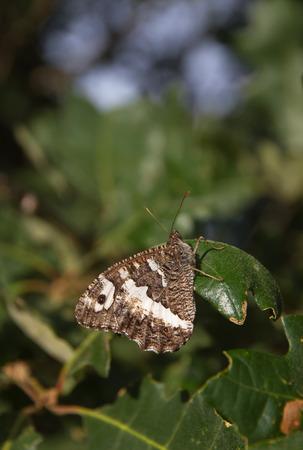 hojas: Mariposa   Kanetisa circe   posada en rama y hojas de roble  Stock Photo