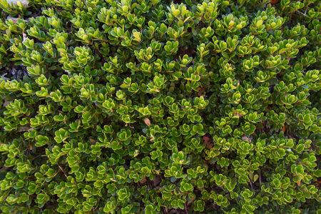 ova: Plant with medicinal properties. Bearberry leaves, bearberry, Arctostaphylos uva-ursi