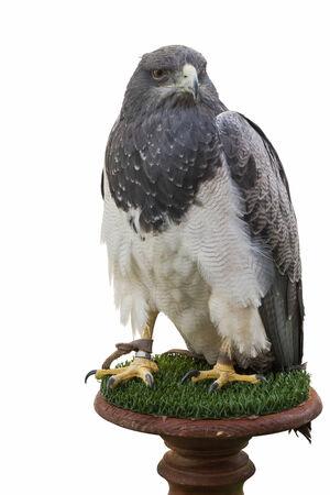 gavilan: Cautivo del águila y aisladas sobre fondo blanco en una columna de madera