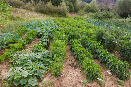 Small plot farming or agricultural garden with various species of vegetables Standard-Bild