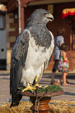 Captive Eagle  Buzzard-Eagle  captive in outdoor exposure over a wooden column photo