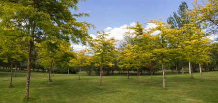 poplars: Panorama Public park with green and yellow shades in summer. Ailanthus green grass, poplars and other species in spring
