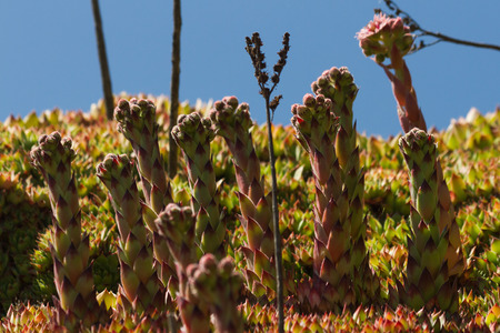phallic: Sempervivum tectorum planta (Crassulaceae) para florecer Foto de archivo