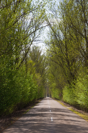 poplar  banks: Nice country road with arch formed by trees. Enjoyment of traveling in spring, between sun and shade