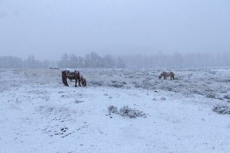heavily: Herd of Horses grazing in a field while snowing heavily Stock Photo