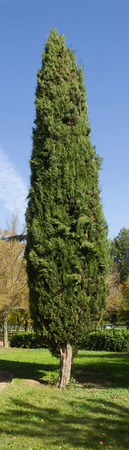 cypress tree: Vertical panorama of Cypress tree in Park