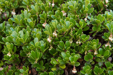 tannins: Plant with medicinal properties. Leaves Bearberry, Arctostaphylos uva-ursi Stock Photo