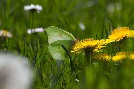 rhamni: Brimstone Butterfly (Gonepteryx rhamni) With sulfur camouflaged green tones, perched on yellow dandelion flower. In meadow with daisies