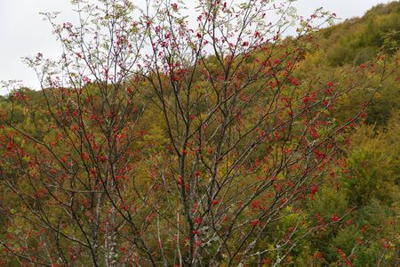 luxuriance: Rowan with red fruits in clusters to early fall and beech forest background.