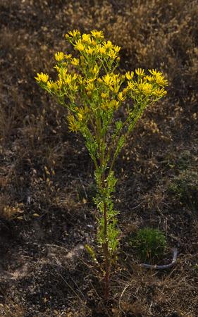 fiori di campo: Piantare fiori di colore giallo Ragwort jacobaea vulgaris