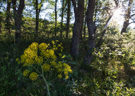sneak: Plant flower, Thapsia villosa in an oak forest by the rays of the setting sun sneak
