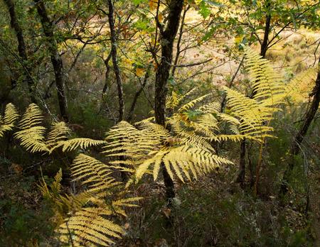 helechos: Bosque de roble oto�al Helechos amarilla Foto de archivo