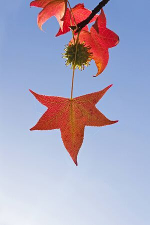 palmate: Palmate leaf red Sweet gum  Liquidambar  and autumn colorfully accompanied by a green fruit Stock Photo