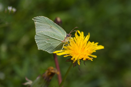 rhamni: Butterfly Brimstone Gonepteryx rhamni camouflaged with sulfur green tones, perched on yellow dandelion flower Stock Photo