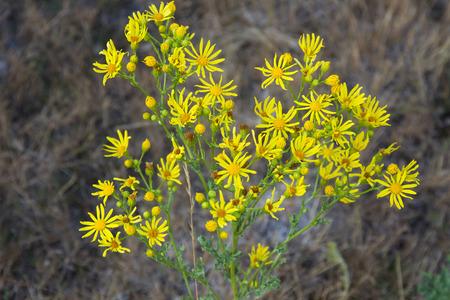 fleurs des champs: Plantez des fleurs sauvages jaune - séneçon vulgaire Jacobaea