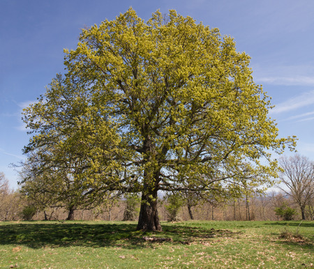 leafy: Big oak centennial and leafy crown in spring