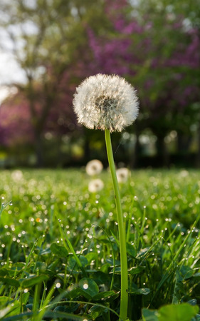 threadlike: Nut with dandelion seeds in green meadow, with dew and morning light Stock Photo