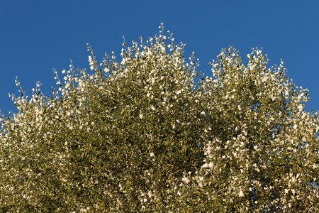 underside: Cup with a white poplar of leaves showing the characteristic white underside silvery tone or effect of air