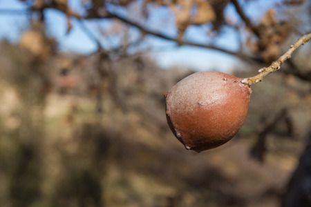 gall: Oak Gall on oak branch, With blurred background field and sky Stock Photo